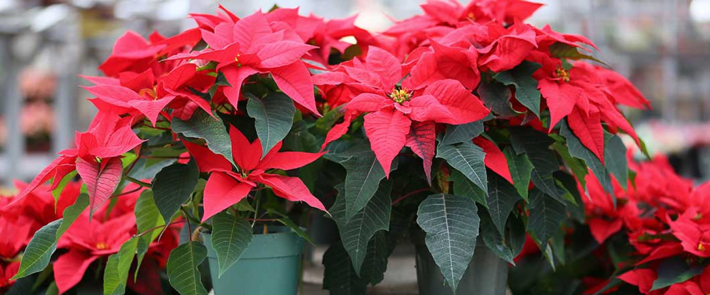 Get in the holiday spirit!  We have Christmas Trees, Poinsettias, Wreaths, & Holiday Dacor!